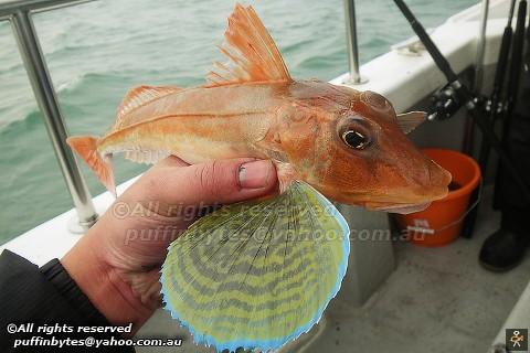 Tub Gurnard - Chelidonichthys lucerna