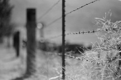 fff (Andy B&W) Tags: california bear ranch bw film field grass fence mono wire weeds mood bokeh grain 85mm front sharp springs valley page grasses 18 friday barb fp ilford depth gleaming fff