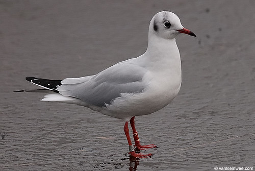 Black-headed Gull, adult, R[4.V]