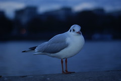 Seagull by the Thames (hobbitbrain) Tags: bird london 50mm minolta pigeon seagull riverthames f17 primelens somethingblueinmylife