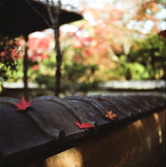 * (yocca) Tags: autumn red film leaves japan t leaf kyoto dof kodak bokeh 100v10f hasselblad momiji japanesemaple   portra uji 2010 500cm  carlzeiss 160nc  plannar  nov2010 shoudensansou