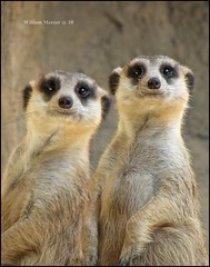 No, I'm Bob that is Rob.  I can't believe he cannot tell us apart. (southernhobbyist) Tags: wild cute nature animal mammal meerkat little wildlife ngc godscreations meerkats omnivore natureselegantshots mygearandmesilver my