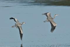 Great Blue Heron 2 (Ardea herodias) (Paul Whalen) Tags: usa bird texas birdsinflight aba greatblueheron southpadreisland bif birdinflight ardeaherodias nikond300 nikkor200400mmvrll