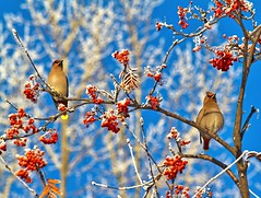 more of the birds and their berries (Matthew P Sharp) Tags: blue winter cold color colour birds cardinal alberta 7d reddeer