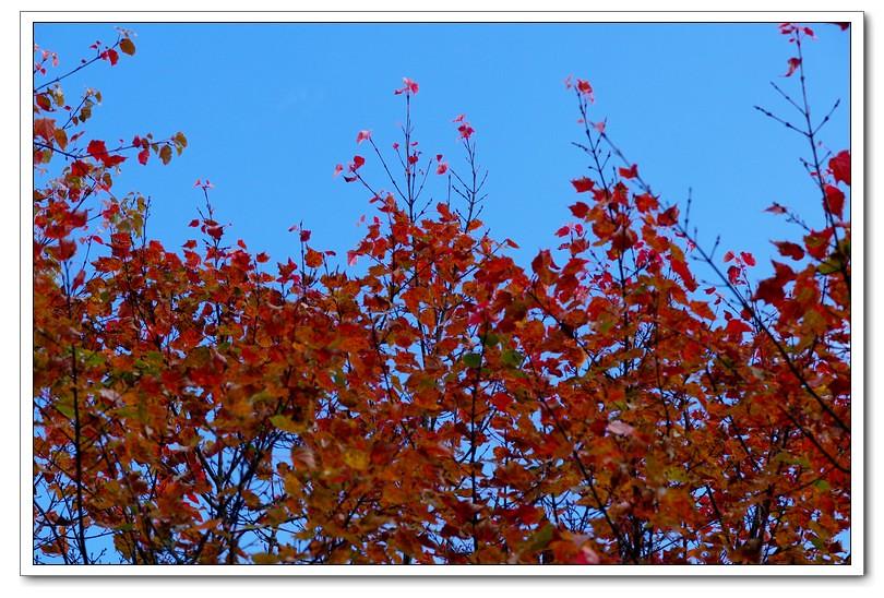 阿里山楓紅滿天星