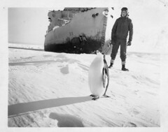 Operation Windmill Expedition Member with Penguin (Smithsonian Institution) Tags: snow bird animal penguin ship antartica usnavy usn icebreaker uscg smithsonianinstitution unitedstatesnavy uscoastguard unitedstatescoastguard adeliepenguin pygoscelisadeliae adliepenguin smithsonianinstitutionarchives operationwindmill ussburtonislandag88 ussburtonisland ag88 uscgcburtonislandwagb283 uscgcburtonisland wagb283 windclass ussburtonislandagb1 agb1