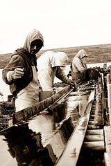 (zaucella) Tags: bw color men water sepia work paper bay belt farm hard oyster drake mexicans conveyer drakes