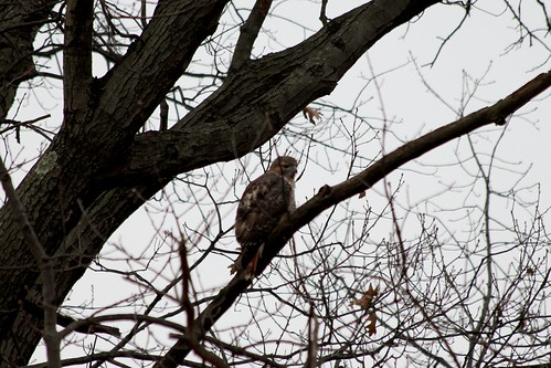 Orchard Beach Hawk