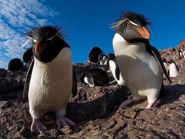Скалистый пингвин (Рокхоппера), Аргентина