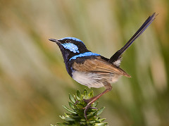 Superb Fairywren (Jose Cisneros | Nature) Tags: bird sydney feathers australia fairywren bluewren superbfairywren maluruscyaneus superbbluewren southeasternaustralia maluridae birwatching josecisneros