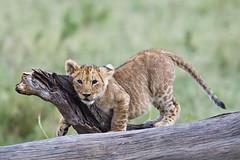 Lion Cub Playing (Andrew Stringer) Tags: masaimara