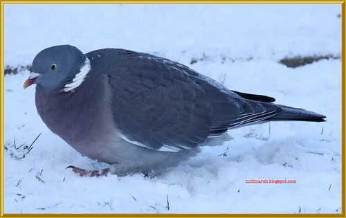 Frosty Wood Pigeon