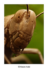 Locusts...  (HASAN_ADEL) Tags: macro nature canon insect lens tube micro saudi arabia 24 mm reversed locusts hoya ksa extention kenko