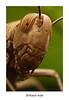 Locusts... جرادة (HASAN_ADEL) Tags: macro nature canon insect lens tube micro saudi arabia 24 mm reversed locusts hoya ksa extention kenko السعودية العربية المملكة عدسة ماكرو طبيعية كانون حية جرادة مقلوبة حشرات انبوب تمديد دقيقة ميكرو كائنات اكستنشن هويا