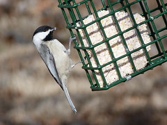 Chickadee (jakesangel) Tags: bird chickadee backyardshot