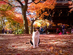 outtakes 2010 #26 (Sinnyo-dou temple, Kyoto) (Marser) Tags: japan cat temple kyoto raw autumnleaves     lightroom grd  grd3 grdigital3