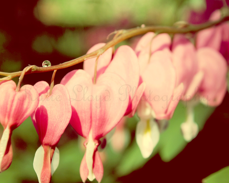 Bleeding-Hearts---8x10-wm