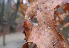 Old leaf hanging in there. Photo