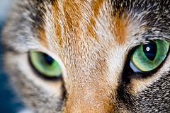 Macro Cat (the_napkin) Tags: portrait pet cats macro cute green eye closeup cat diy eyes feline tabby flash ring homemade eyeball ringflash macroflash