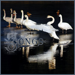 swan song . . . (dragonflydreams88) Tags: artistictreasurechest selectbestfavorites selectbestexcellence sailsevenseas sbfmasterpiece