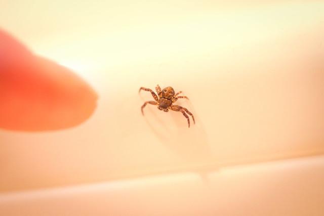 Tiny Spider on range hood