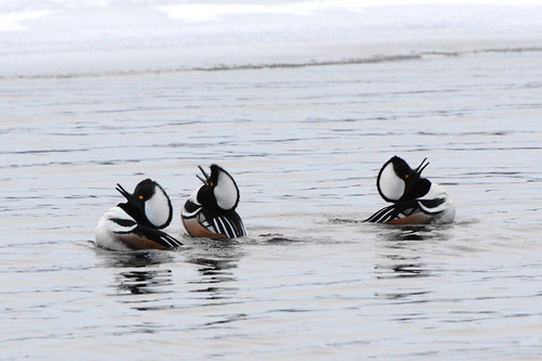Hooded Merganser Drakes