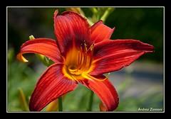 Fiore n.26 (Zanna33) Tags: flower nature fleur flora flor natura blomma bunga  gl fiore blte blomst bulaklak hoa ua lore bloem lill  virag iek  kwiat blodyn   lule blom kukka  cvijet  blth cvet  zieds  gl  kvtina floare  fjura     andreazannoni fl zanna33