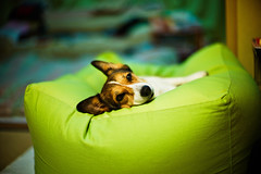 warm inside (moaan) Tags: leica dog color green comfortable digital relax 50mm cozy bed corgi dof bokeh indoor f10 livingroom sleepy utata noctilux welshcorgi cushion hue m9 2011 coldoutside pochiko leicanoctilux50mmf10 leicam9 gettyimagesjapanq1 gettyimagesjapanq2
