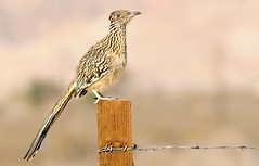 The Gate Keeper (Deby Dixon) Tags: california game bird nature photography nikon desert hiking wildlife southerncalifornia preserve avian allrightsreserved roadrunner morongovalley 2011 mohavedesert naturephotographer intriquing debydixon debydixonphotography bigmorongocanyongamepreserve