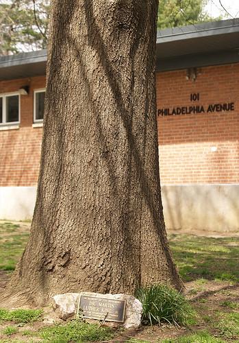 MLK memorial tree, Takoma Park neighborhood, Washington DC (by: takomabibelot, creative commons license)