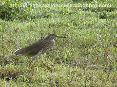 Indian Pond Heron or  (Ardeola grayii)