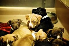 (bowchee likes cameras) Tags: portrait dog cute dogs 50mm pups puppies nikon pit bull pup reno nikon50mmf18d d3000