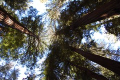 Big Basin Redwoods State Park - Redwoods Photo