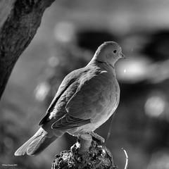 The Dove, from above (Tony Emmett) Tags: france garden dove wildlife sony sigma alpha a700 sonyalpha lamothestheray sonyalpha700 minoltaamount sigma150500mmf563dgoshsm