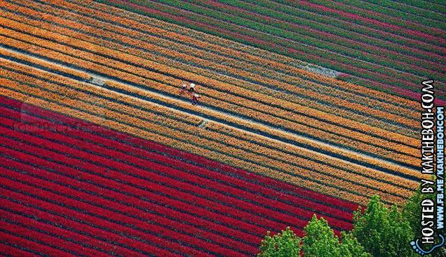tulipsbloomHolland3