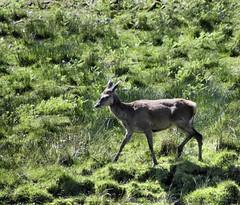 tame deer