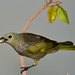 Sanhaço-cinzento ou Sanhaço-do-mamoeiro [Thraupis sayaca (Linnaeus, 1766)]