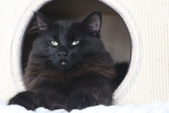 NL* Titran's Olga Knipper proud mum of our Q's (Titran's Norsk Skogkatt) Tags: norway cat norge kat katzen noor chaton titran noorse boskat norweger nfo wegies titrans
