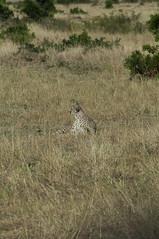 Where is the cat (jhderojas) Tags: cheeta kenia masai mara
