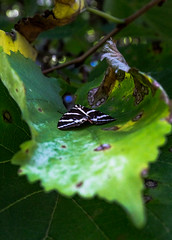 Resting her wings. (OpersembeArt) Tags: bacpacking trip village canon 700d eos canon700d canoneos700d eos700d outdoor mountains butterfly valley garden tiger moth leaf curl paros greece green black white orange red