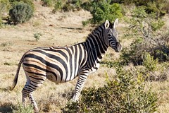 Burchell's Zebra Standing in the field (charissadescande) Tags: africa stripes safari herd nature background animal burchell zebra wild wildlife herbivore striped natural african wilderness grassland outdoors travel grass quagga mammal addo easterncape southafrica zaf
