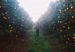 Freedom in the orange grove. (Hijo de la Tierra.) Tags: film analog analogue 35mm old vintage freedom nature orange grove trees uruguay countryside run grain boy young spring