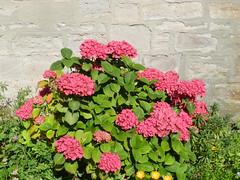 Hydrangea, Invergordon, Easter Ross, Sep 2016 (allanmaciver) Tags: pink hydrangea flower bloom invergordon easter ross green healthy allanmaciver