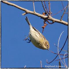 Yellow Rumped Warbler going down (RKop) Tags: armlederpark cincinnati ohio raphaelkopanphotography a77mk2 70400gssmsony sony warblers warbler wildlife