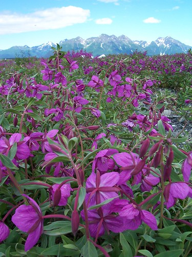 A massive field of fireweed covers the ground across this open expanse of landscape at the foot of one of hundreds of mountain peaks across southeast Alaska and the Tongass National Forest. (US Forest Service photo)