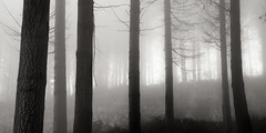 Misty Woods (Andy Brown (mrbuk1)) Tags: trees light panorama mist fog sepia wales contrast forest woodland landscape blackwhite moody spooky bark seven atmospheric undergrowth