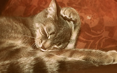 Cute Faded Kitten (Jason Verwey) Tags: sleeping cats pets cute animals cat paw kitten sophie faded fade