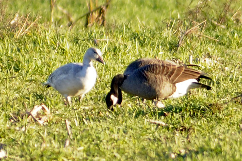 snow goose in the sun