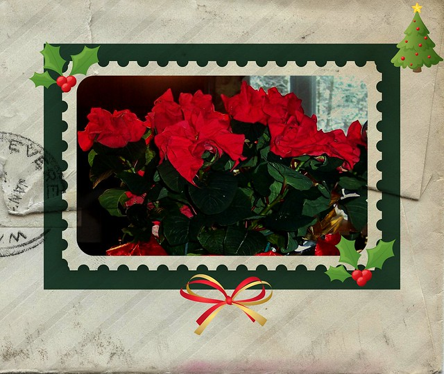 rose poinsettia 4