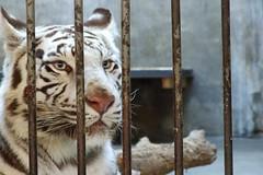 Big Kitty (Albita.) Tags: china animal cat jaula zoo feline blueeyes tiger beijing cage gato purr felino tigre gatito savage kitti salvaje ojosazules pekn